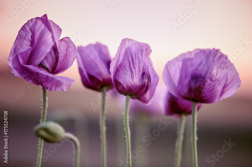 Foto op Canvas Klaprozen Lilac Poppy Flowers