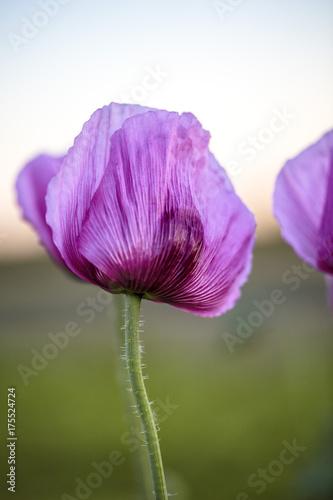 Foto op Plexiglas Klaprozen Lilac Poppy Flowers