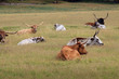 Longhorns on an Oklahoma Ranch