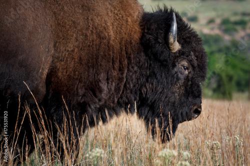 Fotobehang Bison Buffalo Portrait