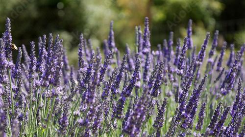 Spoed canvasdoek 2cm dik Lavendel Fiori di lavanda in Provenza