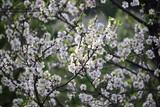 Mandelblüte in Spanien - 175540984