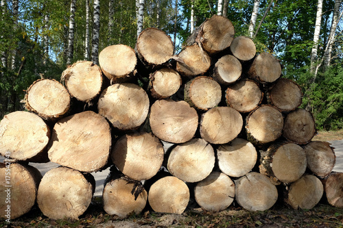 Many sawed pine logs stacked in a pile in the forest on summer day front view cl Poster