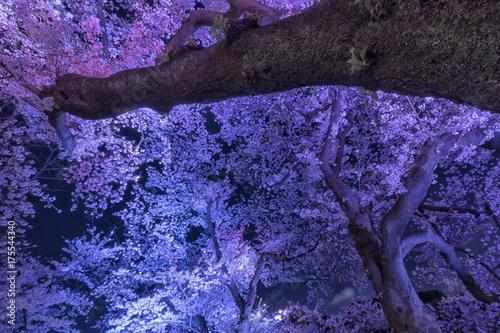Fotobehang Snoeien 東京の春、千鳥ヶ淵、ライトアップ