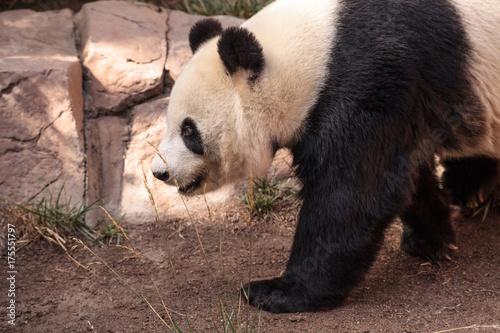 Fotobehang Panda Giant panda bear known as Ailuropoda melanoleuca