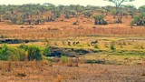Cinematic camera shot of a family of warthogs and scavenger birds by a river on a bright, hot, sunny day in picturesque, colorful, dry savanna plains of  Serengeti national park in Tanzania, Africa. - 175553717