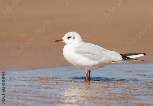 A black-headed gull standing in a puddle of water on the beach Poster