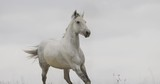 Wild white horse on the field running gallop - 175572512