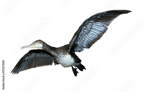 Flying Great Cormorant (Phalacrocorax carbo) isolated on white background © milkovasa