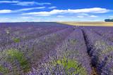 Blooming lavender field - 175577184