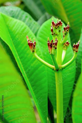 Fotobehang Plumeria Plumeria
