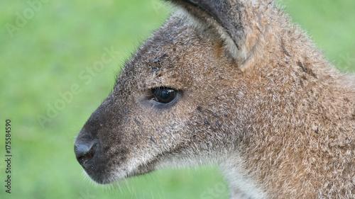 Aluminium Kangoeroe Känguru