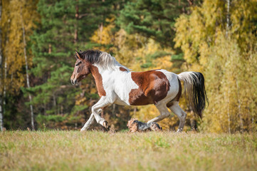 Beautiful paint horse running on the pasture in autumn