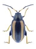 Beetle Phyllotreta nemorum on a white background