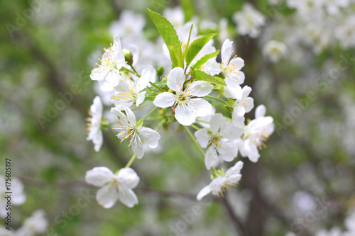 White flowers of fruit tree in good weather in spring Poster
