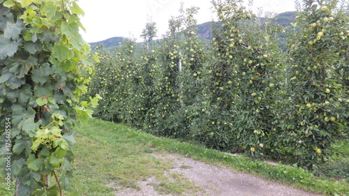 Spoed canvasdoek 2cm dik Olijf Anbau von Äpfeln