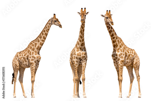 Set of three giraffes seen from front, isolated on white background