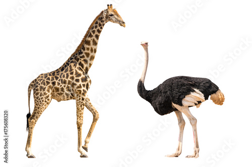Set of giraffe and ostrich portraits, isolated on white background Poster