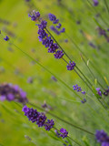 Closeup view of beautiful lavender flowers in the field against the blurred background. - 175608514
