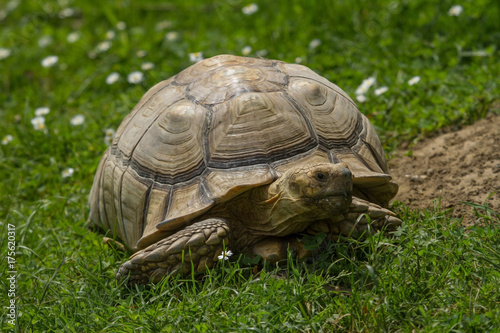 Fotobehang Schildpad photo of an African Spur-thighed Tortoise walk in the sunshine