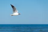Möwe fliegend vor Horizont - 175624364