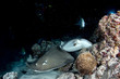 Quadro giant blackparsnip stingray fish during night dive