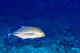 caranx fish isolated on blue diving maldives - 175627747