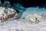 octopus underwater portrait hunting in sand - 175627764