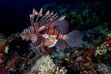 Scorpion Lion fish portrait while diving indonesia