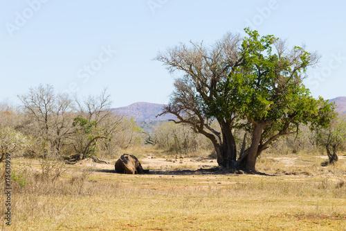 Fotobehang Neushoorn White rhinoceros sleeping under a tree, South Africa