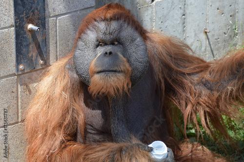 Foto op Canvas Aap Orangutan
