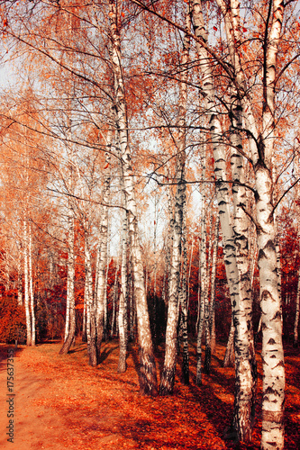 Foto op Plexiglas Oranje eclat Scenic autumn nature landscape. Birch park in fall.