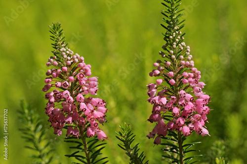 flowering-cornish-heath-cultivar-st-keverne-erica-vagans-st-keverne
