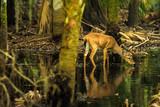 Deer in the swamps of Myakka River State Park, Florida - 175638765