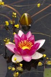 Waterlily (Nymphaea)