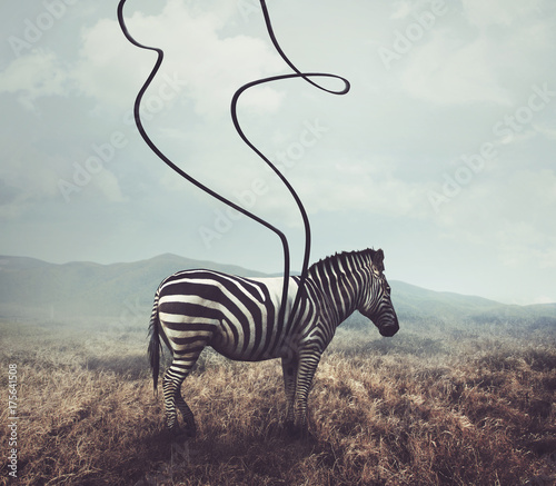 Fototapeta Zebra and stripes