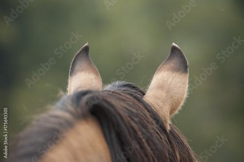 Kiger Mustang horse alert ears from behind Plakát