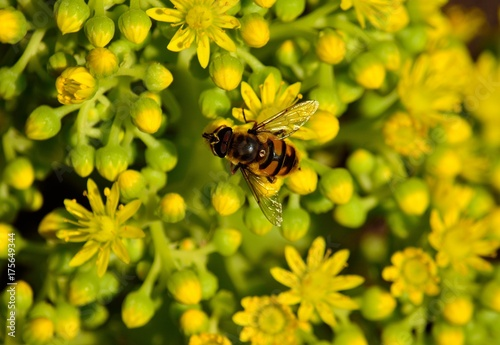 Fotobehang Bee Bee on the small flowers of aeonium
