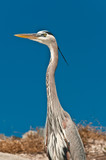 Great blue heron standing on a tropical, sunny beach, looking for next meal on a  - 175659367