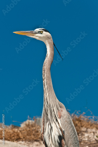 Great blue heron standing on a tropical, sunny beach, looking for next meal on a