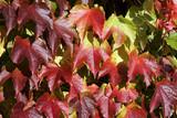 Boston ivy - japanese creeper - japanese ivy (Parthenocissus tricuspidata) - 175672300