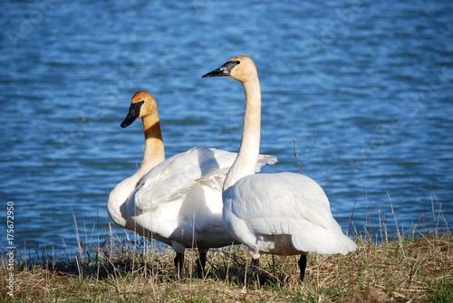 Fotobehang Zwaan Tundra Swan pair by water