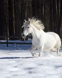 Tica Trotting Through Snow  - 175677194