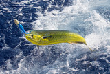 Fresh Mahi Mahi being caught in ocean - 175678597