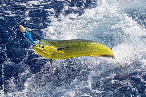 Fresh Mahi Mahi being caught in ocean Poster