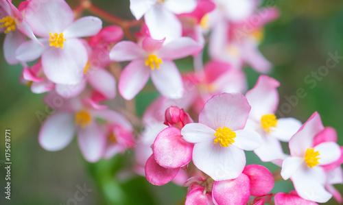 Poster Pink plumeria flower