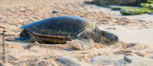 Tuinposter Tropical strand Hawaiian Green Sea Turtle