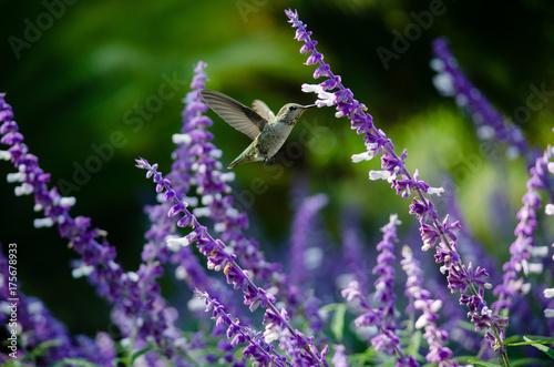 Kolibra Anny w locie karmi meksykańskiego mędrca.