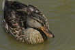Mallard Duck. Wild bird floating on the lake. Portrait of the animal.