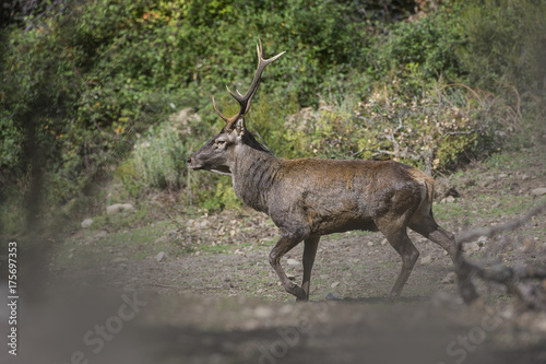 Fotobehang Hert cervo sardo